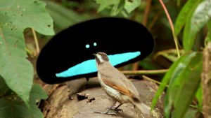 Paradise-Bird-2